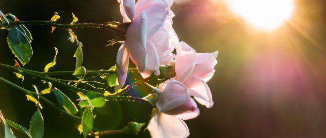 Седмица на розата във Фермерски магазин Хранкооп
